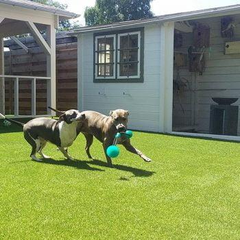 Spelende honden op kunstgras