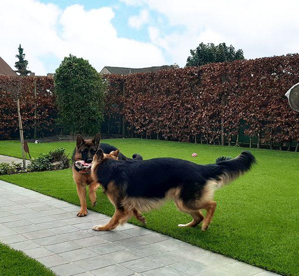 Grote honden op kunstgras