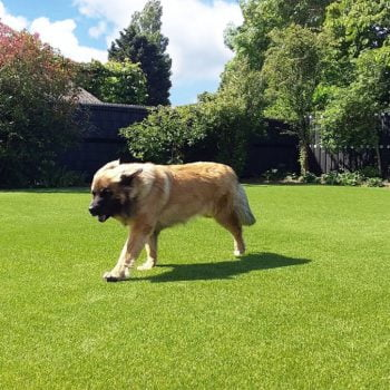Honden op Royal Grass® Lush