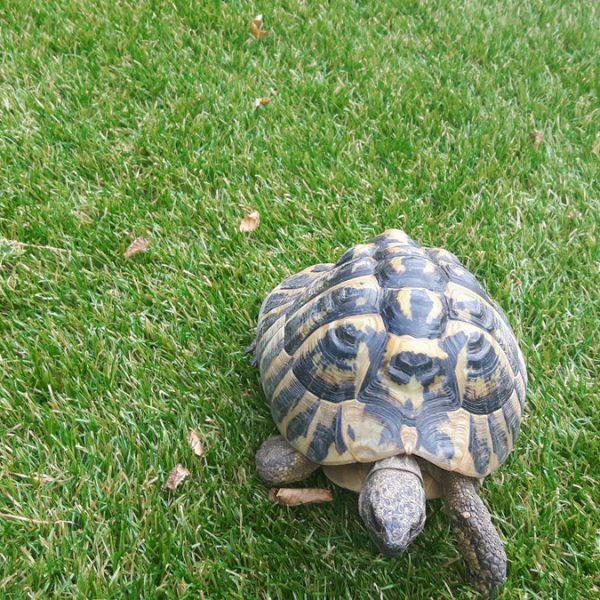 Schildpad kunstgras